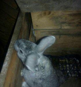 Кролики фландер помесь с серым гигантом  и бараном