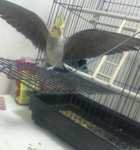 Попугай кареллла