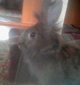 декоративный кролик львиная голова