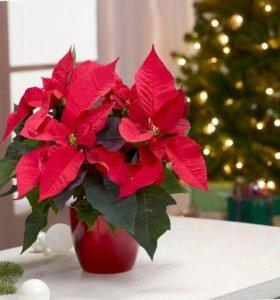 Звезда⭐️ Рождественская. Пуансеттия