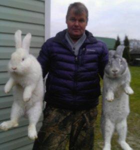 Кролики крупной мясной породы Ризен