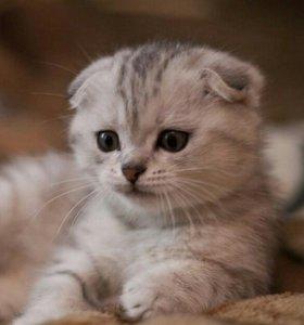 котята вислоухие и прямоухие