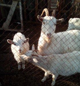 Полузааненские козы
