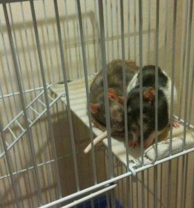 крысы даром
