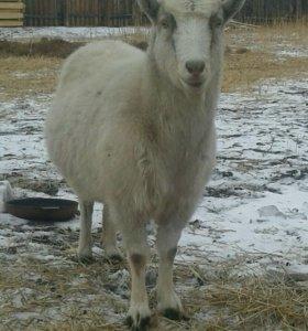 Продам или обменяю на кроликов  коз