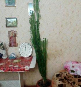 Японский кактус