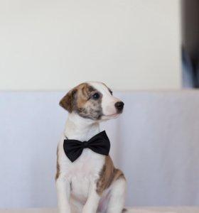 щенок Уиппета