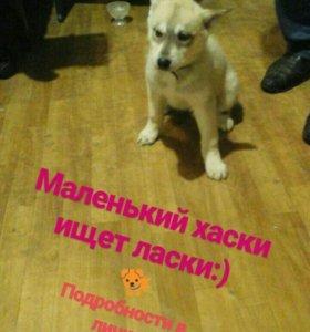Хаски щенок