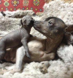 Щенок Ксолоитцкуинтли / Мексиканская голая собака