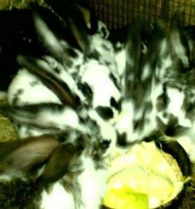 Кролы кролихи