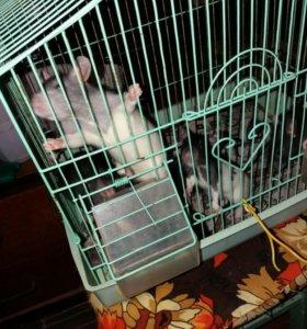 Продам крысят за 1 особь