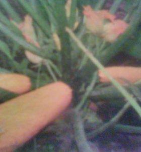Семена кабачков более 15 сортов