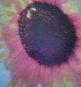 Семена едового подсолнечника