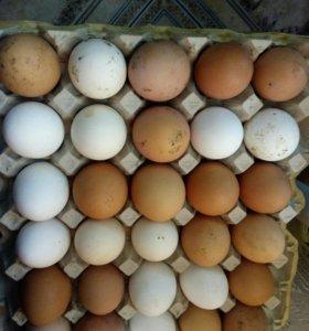 яйца домашних кур свежие