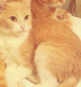 Котик и кошечки от шотландца