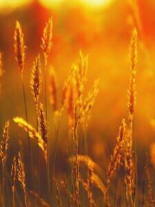Пшеница и комбикорм для кур