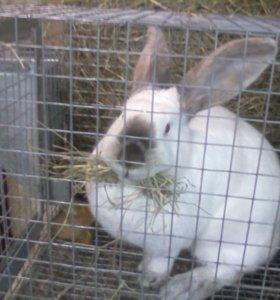 Кролики продажа и обмен