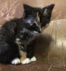 Кошка черна-оранжевая-белая