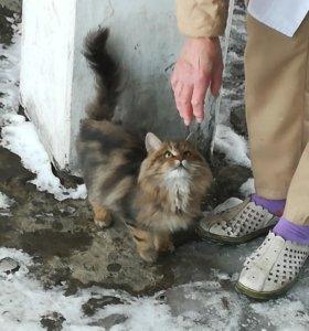 Котёнок-сибиряк