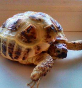 Черепаха сухопутная с аквариумом.