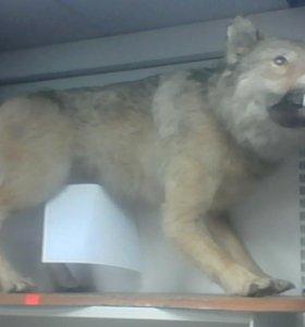 Чучело волчица