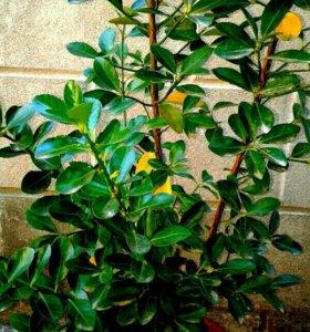 Бересклет-вечнозеленый кустарник(сад.и комн)h=1,4м