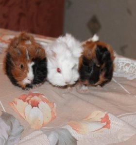 детёныши морской свинки