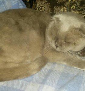 Кот британец веслоухий