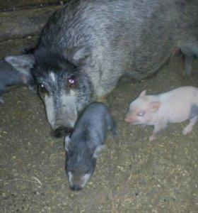 Свинка и кабан обмен!