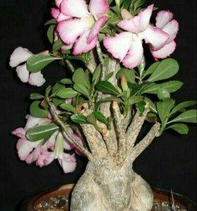 Адениум цветы