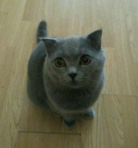 Котик Британец Вислоухий