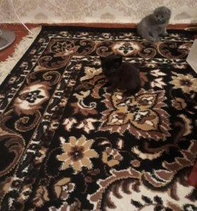 Котята порода британцы и вислоухие