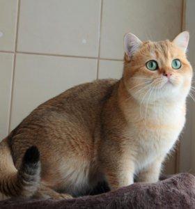 Молодой британский кот золотая шиншилла