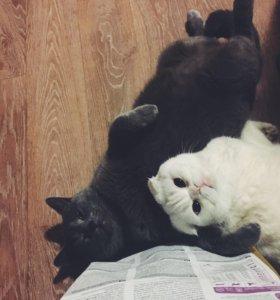 Кот и кошка. Британцы.