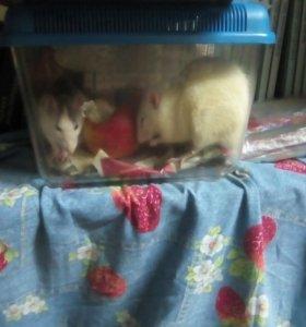 Декоративные крысы мальчик и девочка
