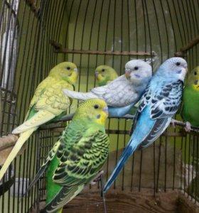 птенчики волнистых попугаев