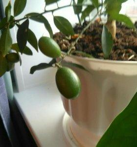 Лимонный дерево