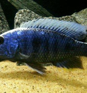 Рыбка Васелек