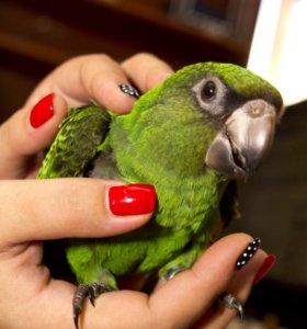 Конголезский попугай супер ручной птенец выкормыш