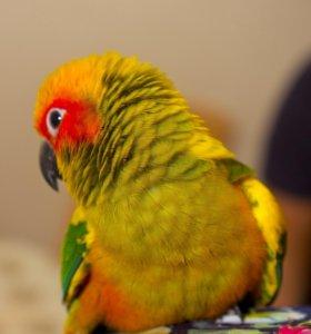 Солнечный аратинга - ручные птенцы выкормыши