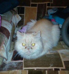 Перс.кошка