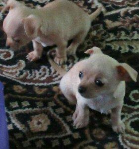Продам щенков породы чихуахуа