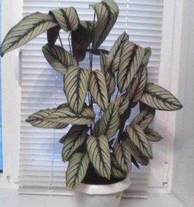 Комнатное растение!
