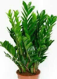 """Замиокулькас,""""долларовое дерево"""""""
