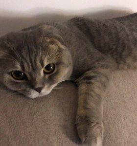 Вязка с титулованным шотландским вислоухим котом