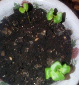 Комнатные растение (гранат)
