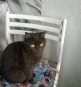 Шотландская кошка Бесплатно