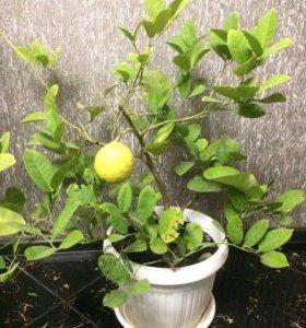 Фикусы и лимоны