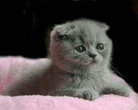 Вислоухий котенок;)