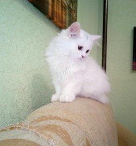 Котёнок девочка шотландская